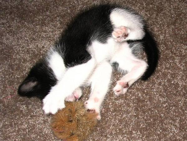 52cc3f359827681ca2000264842px-kitten_playing_with_furball_overhead.jpeg