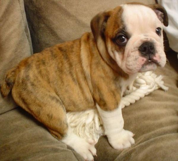 663px-English_Bulldog_puppy