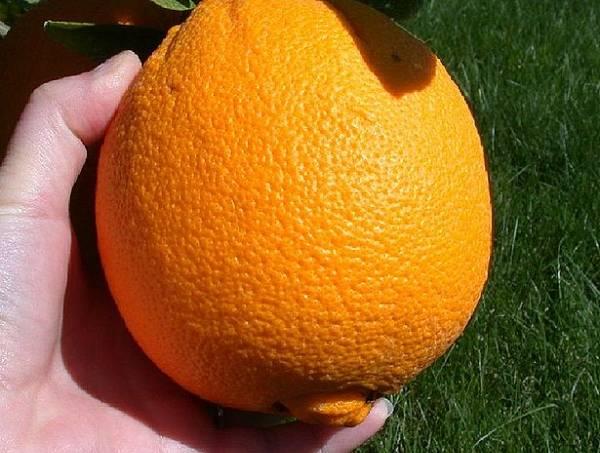 52d973c9982768065a0005a4615px-picking_an_orange.jpeg