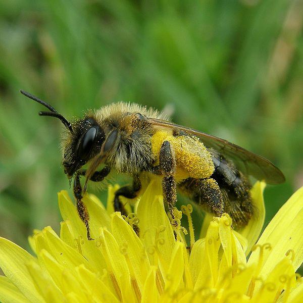 600px-Bain_de_pollen_bath_of_pollen_(2503875867)