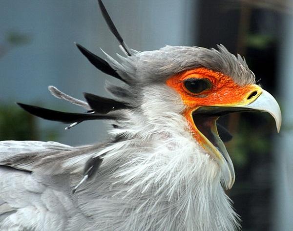 608px-Secretary_Bird_with_open_beak