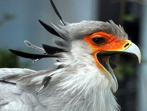 52e161c7865be244d100022a608px-secretary_bird_with_open_beak.jpeg
