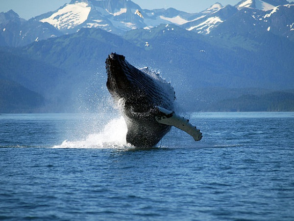 640px-Adult_Humpback_Whale_breaching