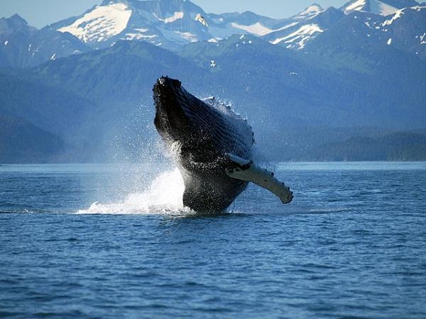 52ea88e99827680aa6000268640px-adult_humpback_whale_breaching.jpeg