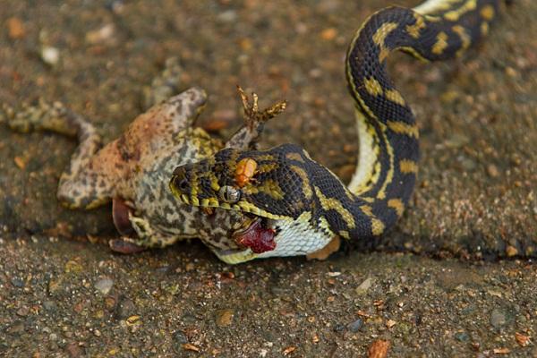Juvenile_Carpet_Snake_eating_Cane_Toad