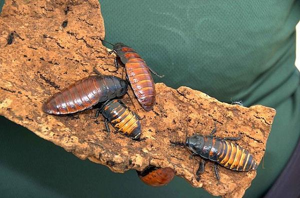 640px-Madagascar_hissing_cockroaches_bugs_gromphadorhina_portentosa