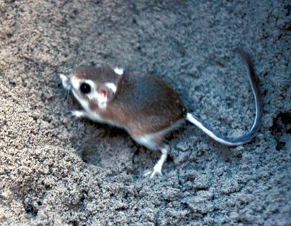 617px-Padre_Island_kangaroo_rat