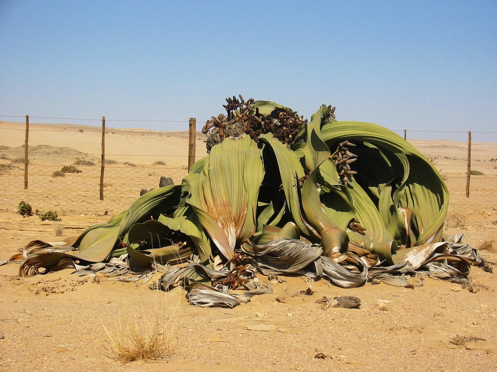 Welwitschia_mirabilis(2)