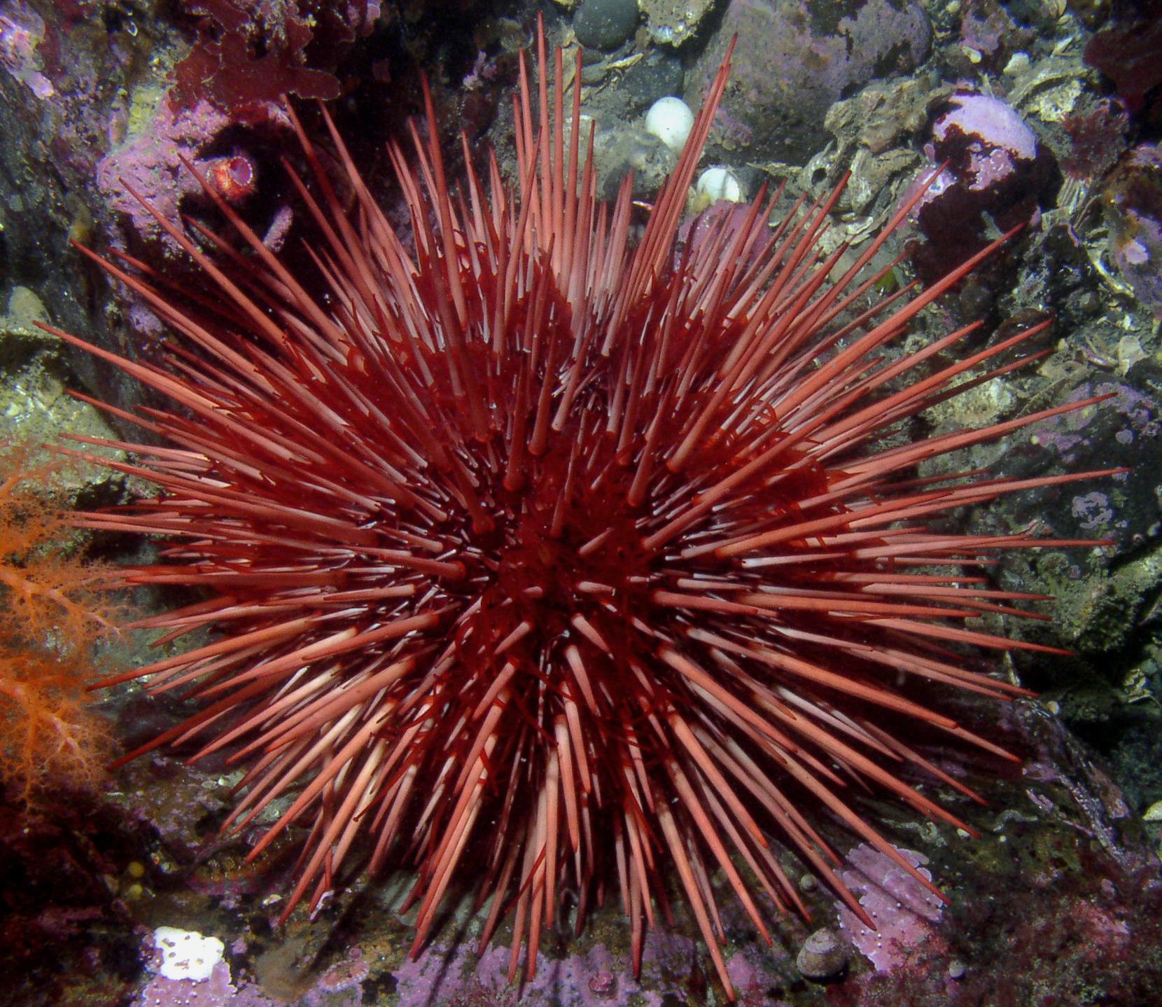 Ouriço-do-mar vermelho Strongylocentrotus_franciscanus