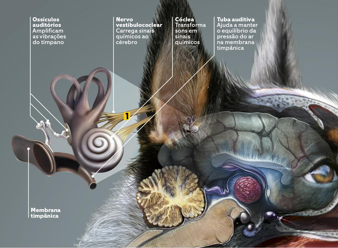 cães 5 - sentidos - audição