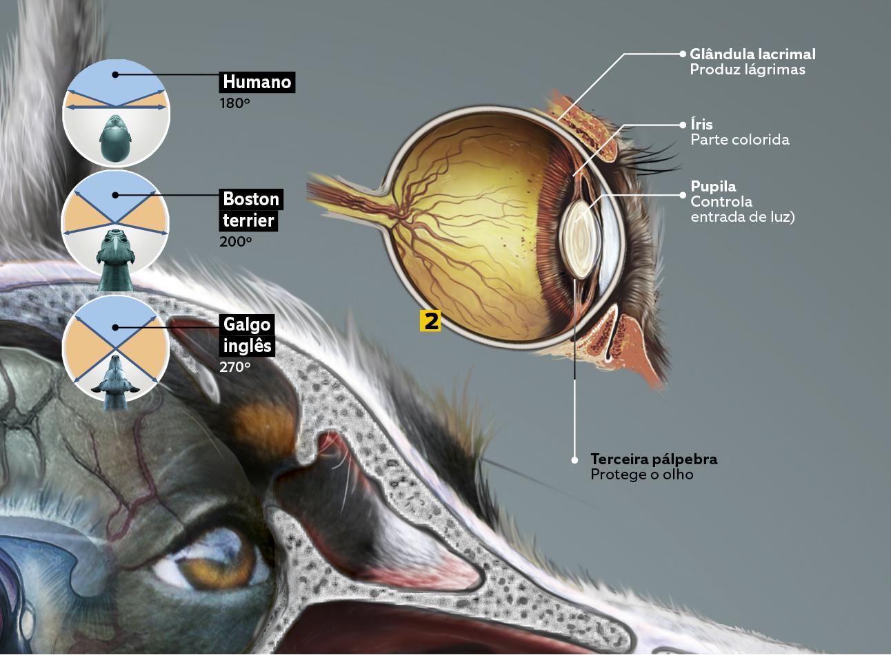 cães 6 - sentidos - visão