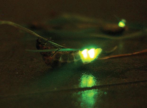 bioluminescencia7