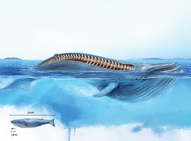 Maior vertebrado baleia-azul