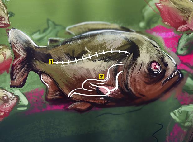 Piranha anatomia