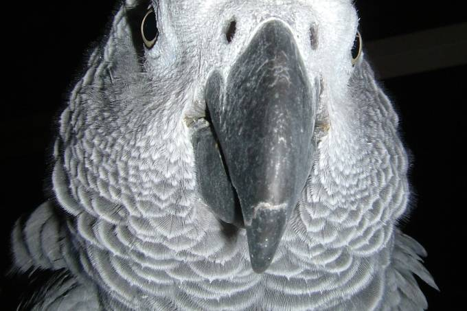 african_grey_parrot_spikie