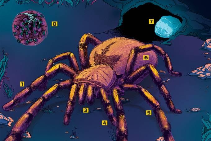 Como é a anatomia de uma aranha?