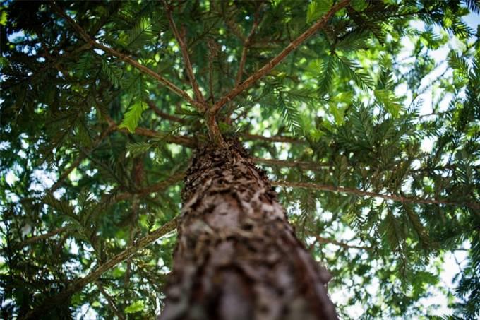 Pessoas do mundo todo estão se declarando para árvores australianas
