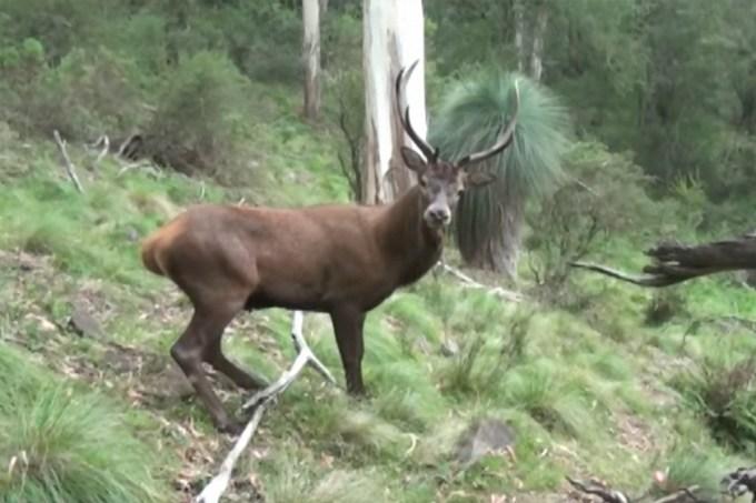 Veado é enganado por caçador e fica perplexo