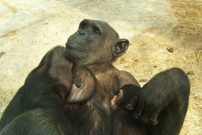 baby_chimpanze