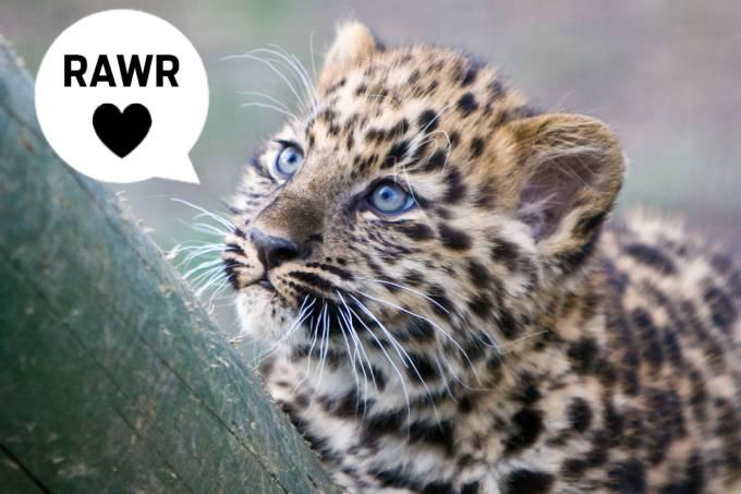 Bebê leopardo solta um rugido feroz e exemplifica como os animais mudam 2