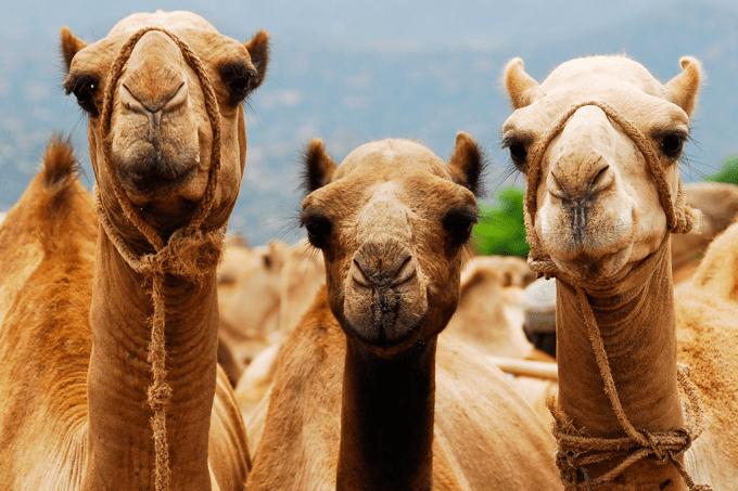 Qual a diferença entre camelo e dromedário?