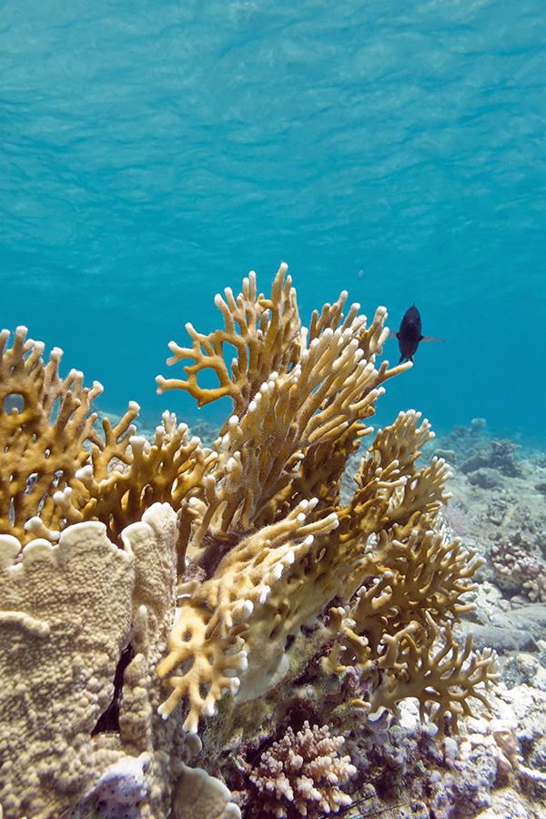 Coral correto