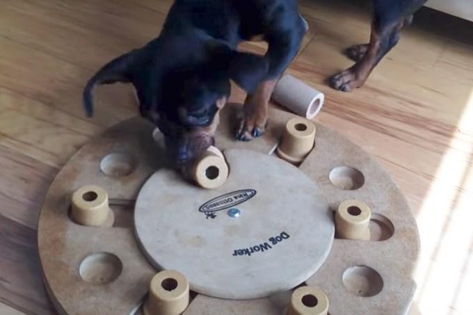 Cachorrinha vira mestre na arte da brincadeira