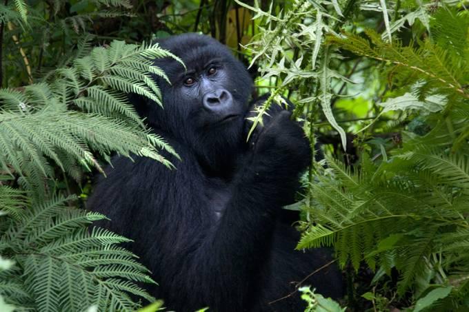 Gorilinha