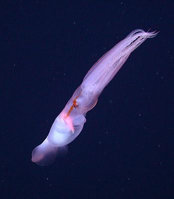 grimalditeuthis-swimming-350