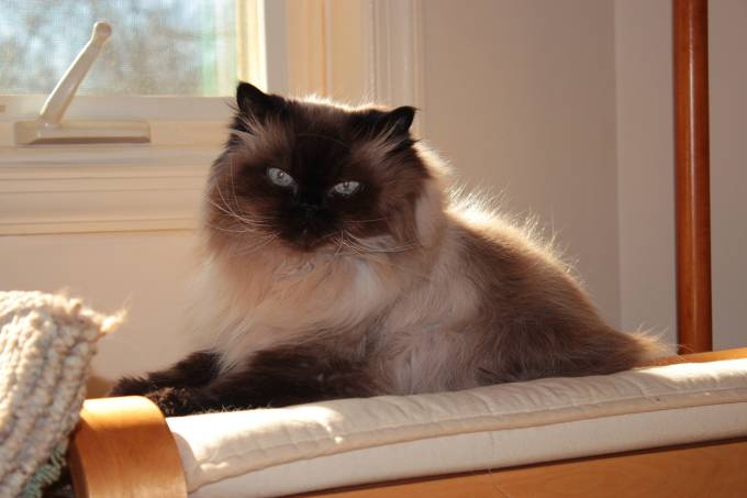 himalayan_male_cat_cosmo_51x84x3456_2012-2-7_by_a_silverstein