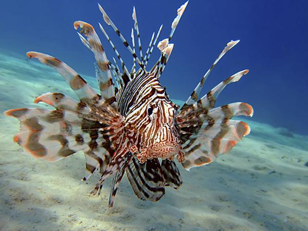 Lion Fish correto