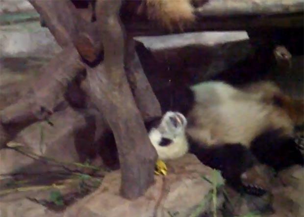 panda-troll