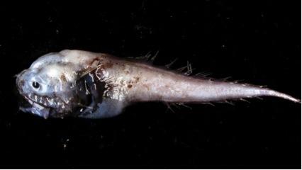 peixe-bunda