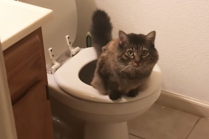 Entenda por que gatos conseguem usar privadas como humanos