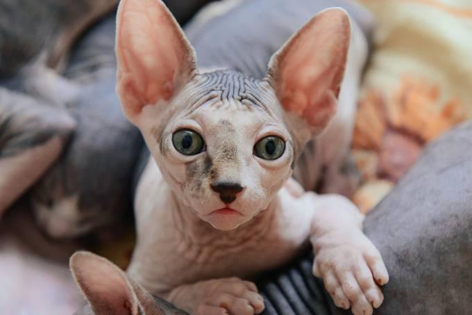 Conheça o gato sem pelos que divide a internet