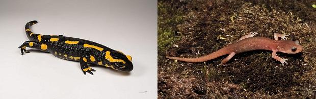 Salamandra_salamandra_MHNT_1