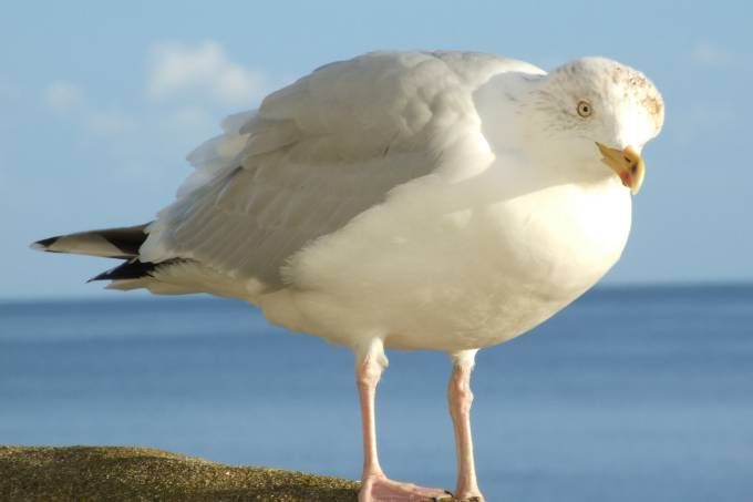 seagull-_conwall_uk