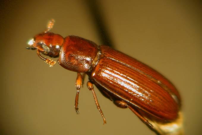 Besouros têm relações homossexuais quando há excesso de fêmeas, diz estudo