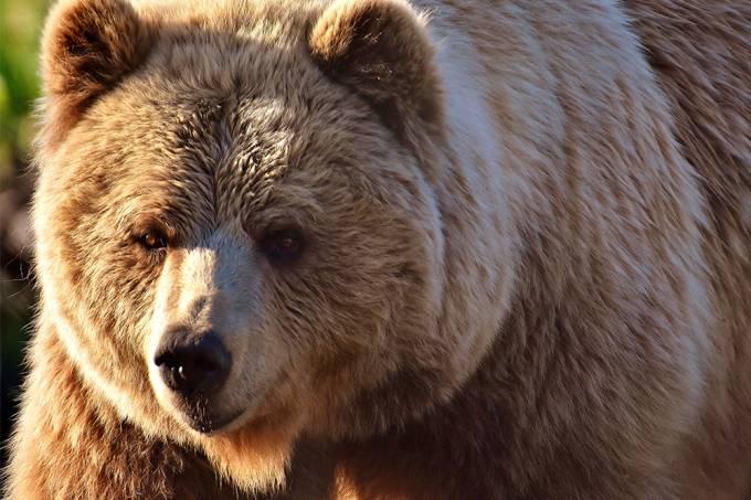 Urso invade cabana na Sibéria e rouba armas de caçador