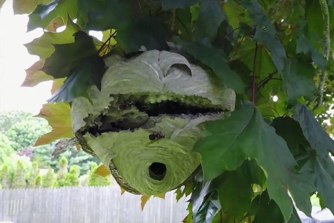 Drone corta ninho de vespas ao meio