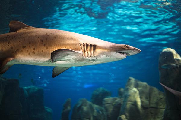 Tubarão correto tigre