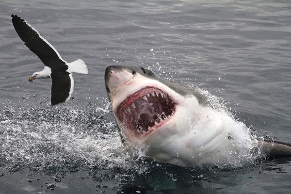 Tubarão correto