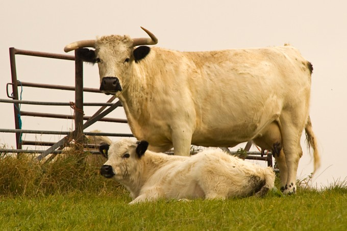 white_park_cow_with_calf_on_hambledon_hill_2