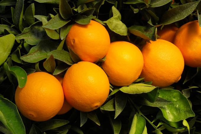 Close-up of Navel Oranges Ripening On Tree