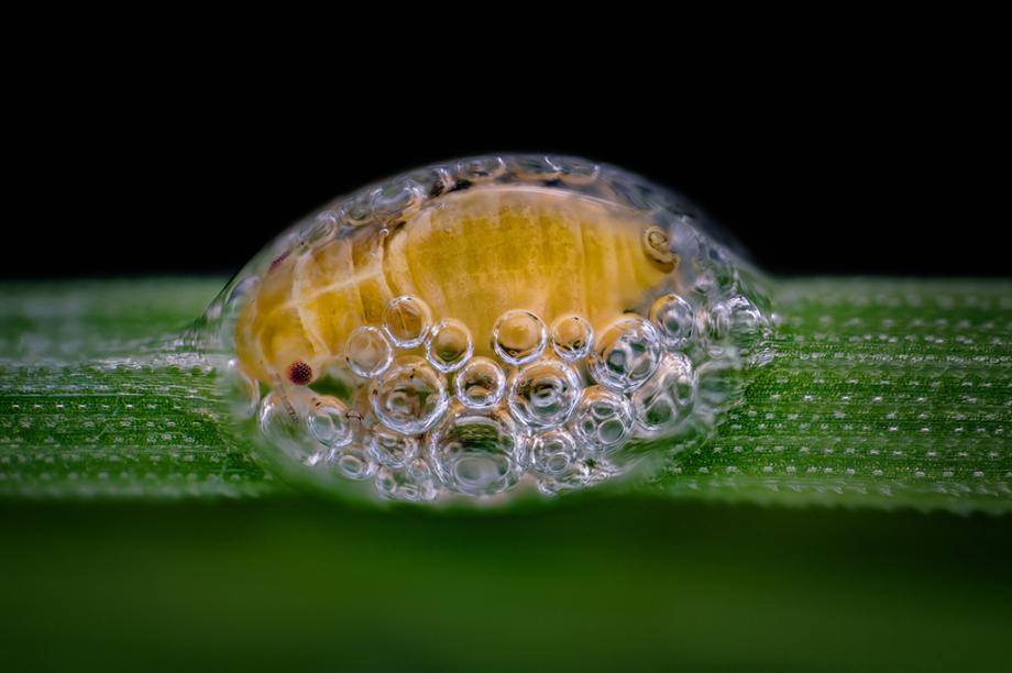 <span>Uma ninfa de Cercopoidea, tipo de </span><span>inseto hemíptero,</span><span> acomodada no interior de seu casulo de bolhas.</span><span></span>