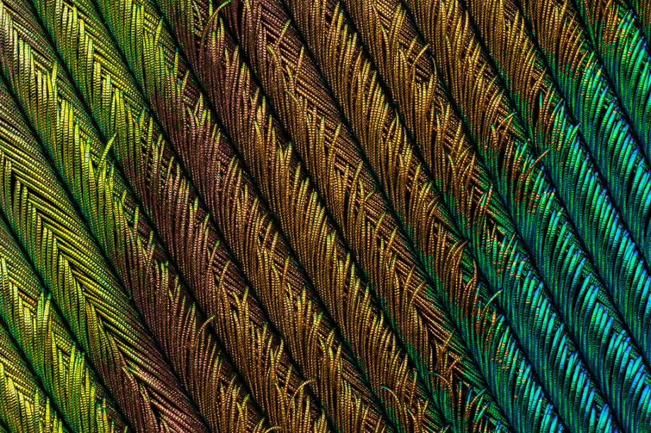 <span>O trecho das penas de um pavão macho foi clicado com um zoom de 5 vezes</span>.