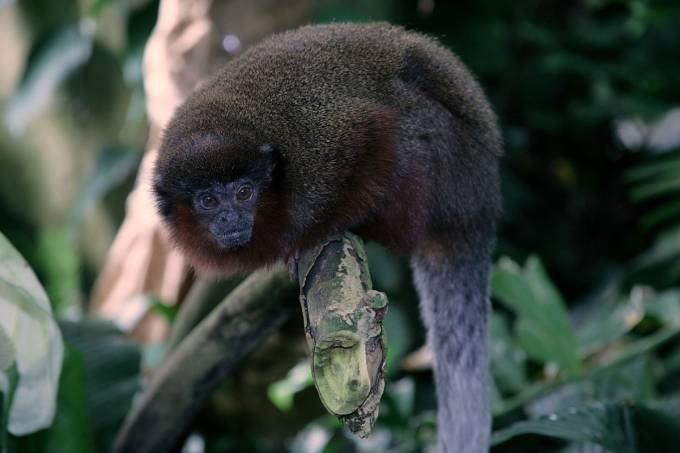 Brown_Titi_Monkey_(Callicebus_brunneus)