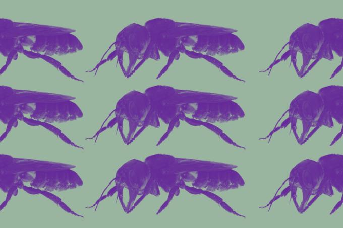 abelha-gigante