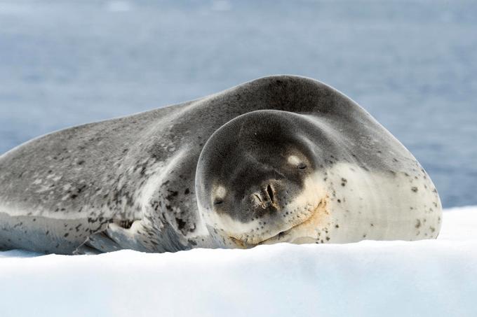 coco-foca-leopardo