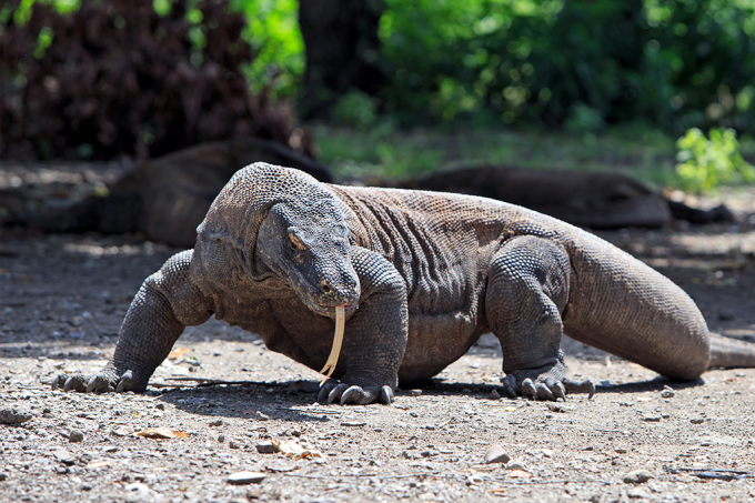 dragao-komodo-indonesia